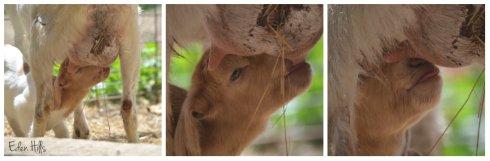Nursing goat kid collage