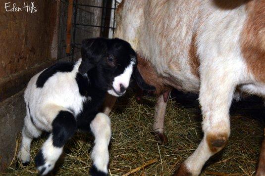 doeling goat kid