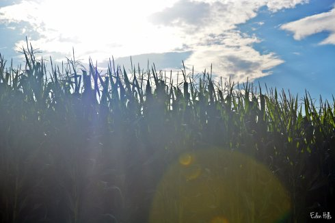 corn and sunshine
