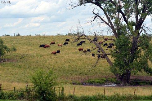 Cows 125ew