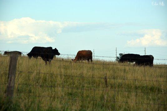 Cows 91ew