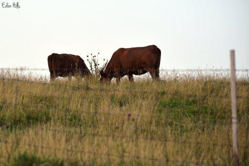 Cows 93ew