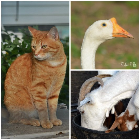 cat goose and goat