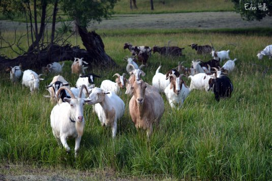 Goat Herd in pasture