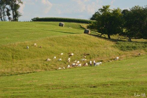 Goat Pasture