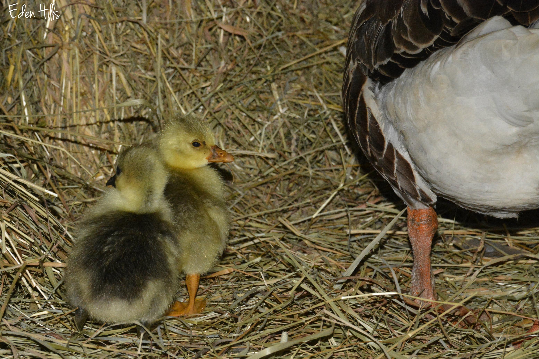 goslings   Eden Hills