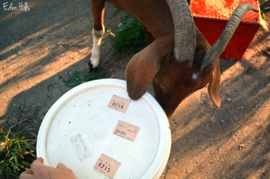 goat checking out bucket