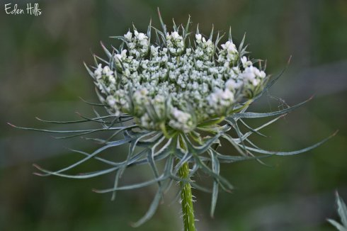 Queen Annes Lace