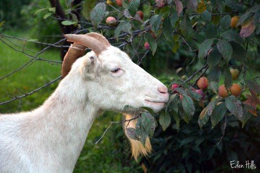 goat eating plum tree