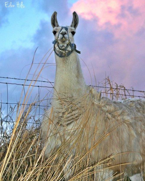 The Djali Llama