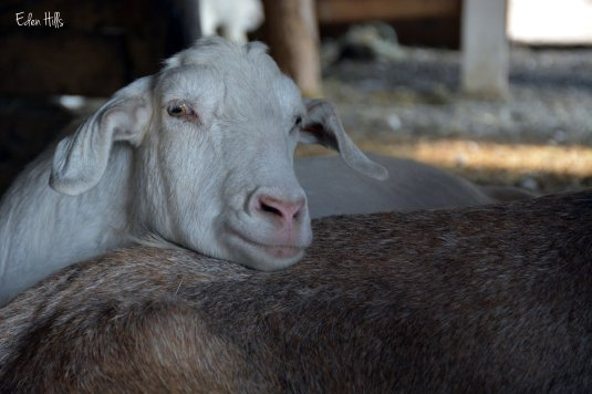 white polled goat