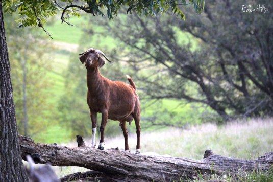 goat on a log