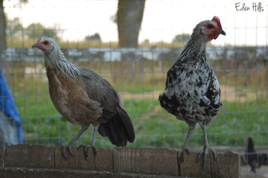 Phoenix hen and rooster