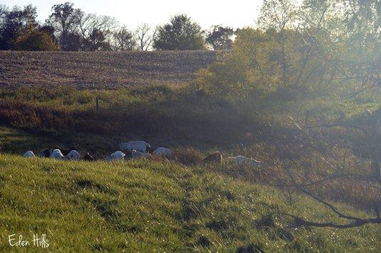 goat herd in pasture