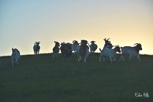 goats running down hill