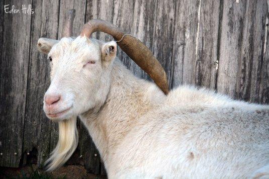 Saanen nanny goat