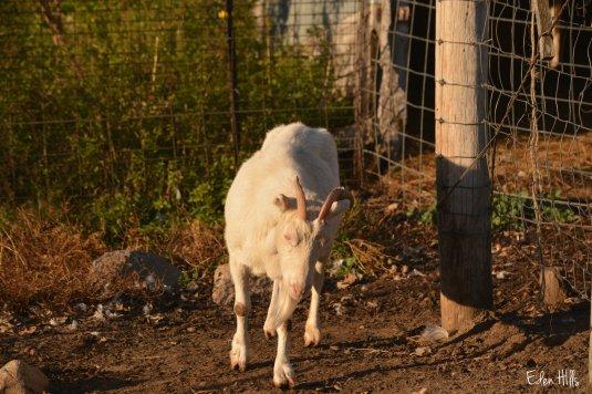 Saanen doe goat