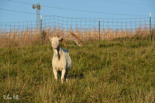Saanen doe goat in pasture