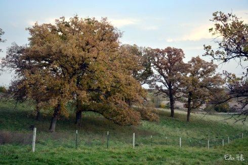 Oak Tree in pasture