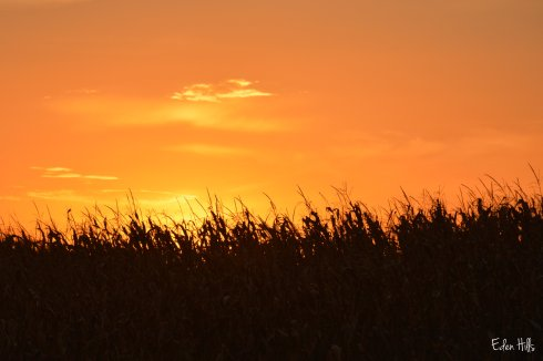 Sunset Corn