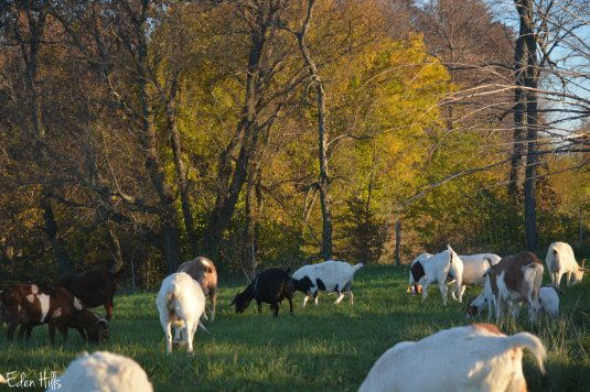 Goats in fall pasture