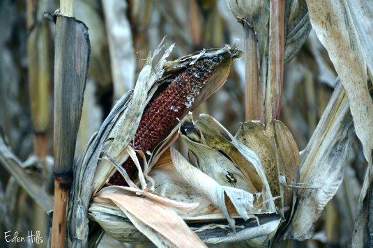empty corn cob