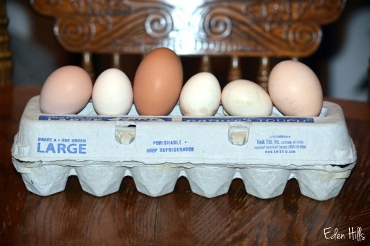 pullet and regular eggs