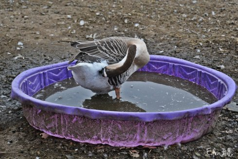 Goose in pool