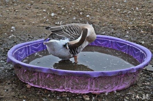 Goose in pool