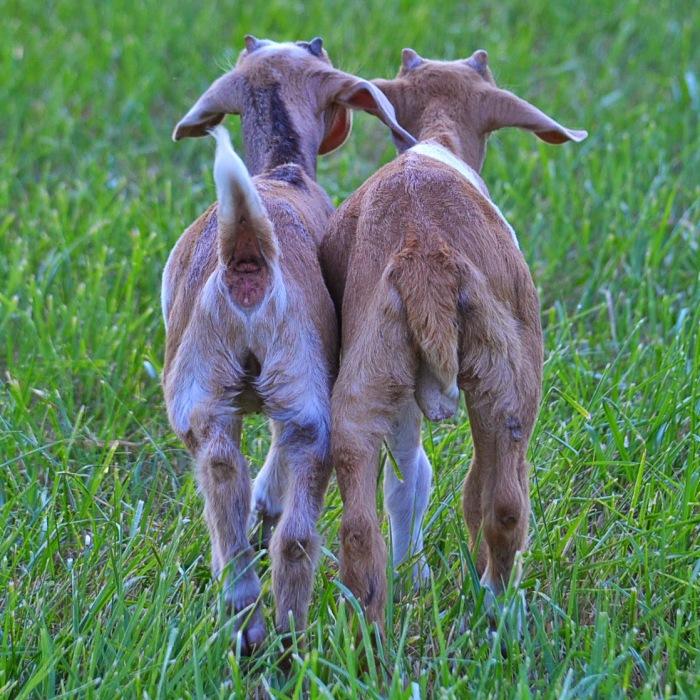 picture of angora goat