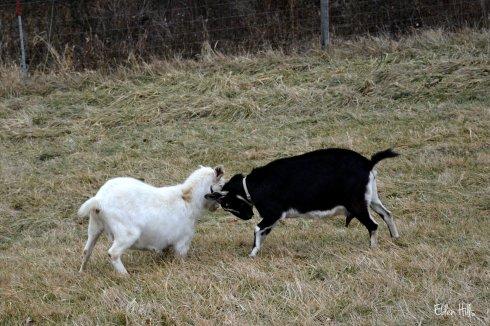 doe goats fighting