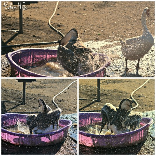 Goose in pool collage