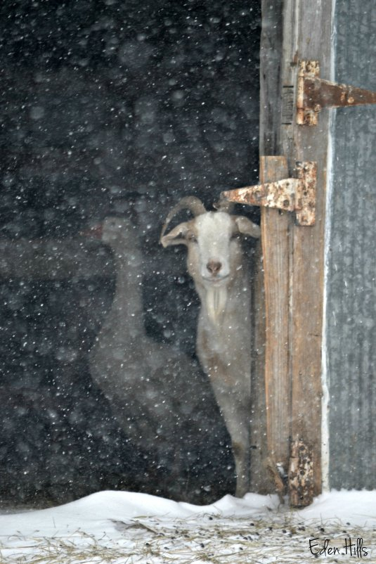Goat in barn during snow