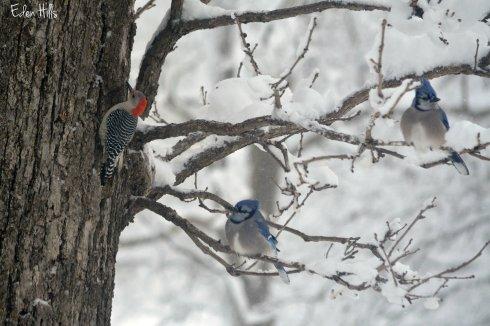red-bellied woodpecker blue jays