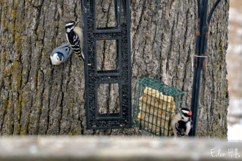nuthatch and downy woodpeckers