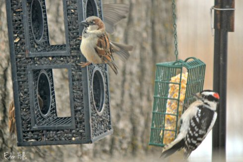 sparrow and downy woodpecker