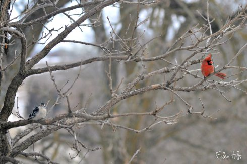 cardinal and downy woodpecker