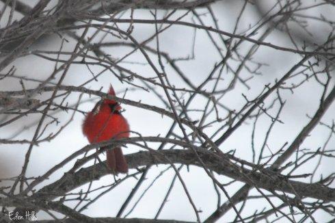 Cardinal 61aw