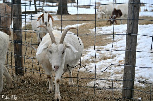 goat walking through fence