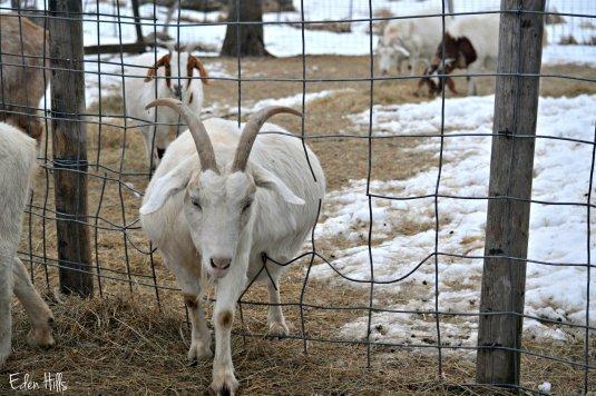 goat walking through fence