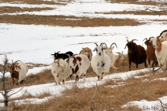 Goats in pasture
