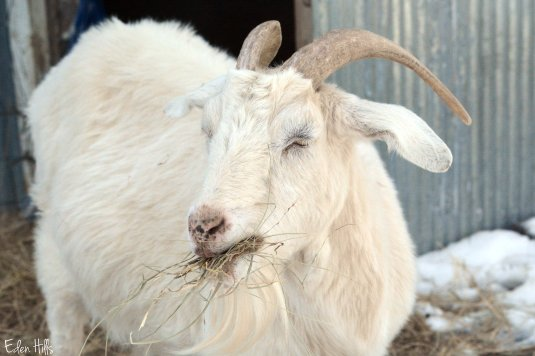 boer cross doe goat