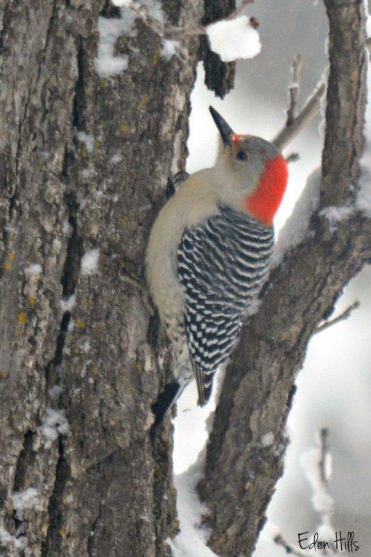 Red Bellied Woodpeckder