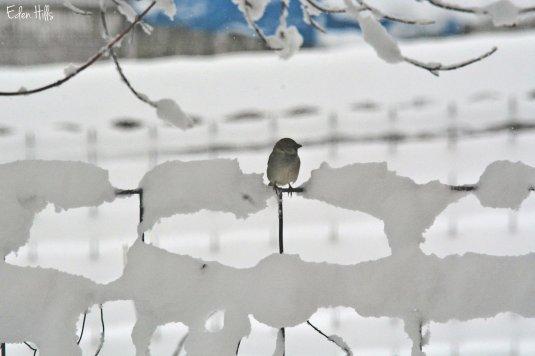 Sparrow on snowy fence