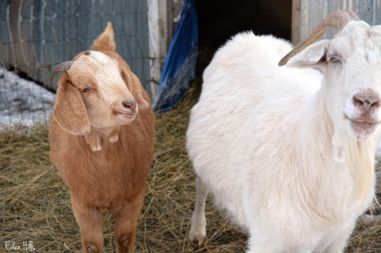 doeling goat and mother
