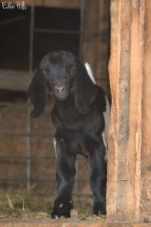 Black doeling goat