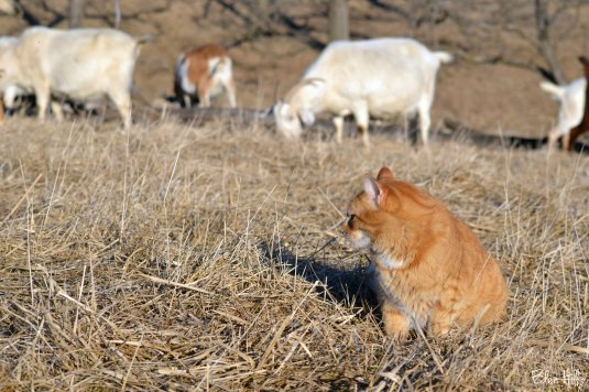 cat in goat pasture