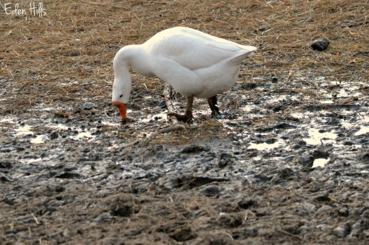 Goose_0097ew