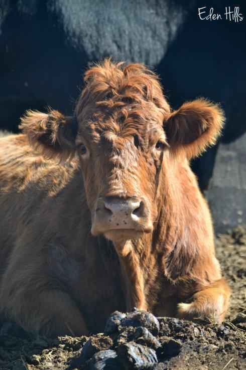Gelbvieh cow
