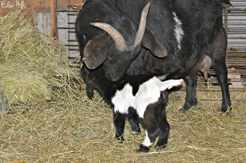 black doe goat and kid